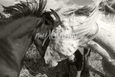Fototapete Zwei Pferde grüßen sich gegenseitig