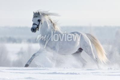 Fototapete Biały koń galopuje w polu w zimie