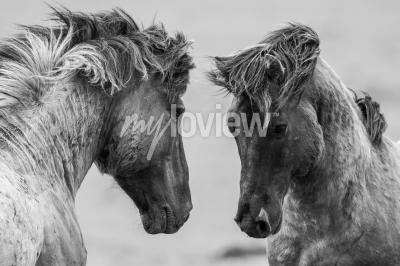 Fototapete Zwei Pferde spielerisch zusammen kämpfen