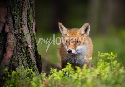 Fototapete Fuchsjagd in Europa Wald