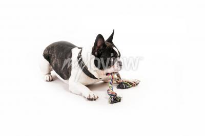 Fototapete Hund mit seinem Spielzeug auf weißem Hintergrund