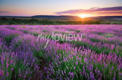 Fototapete Meadow of lavender