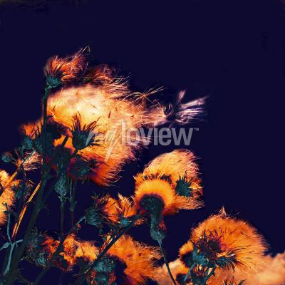 Bild Silhouettes of bright fuzzy dry flowers and flying seeds on dark background