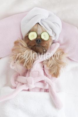 Poster Yorkshire Terrier Relaxing at the Dog Grooming Spa